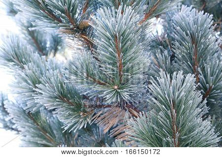 the Frozen spruce branches, on close up
