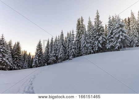 Pine trees in mountains in winter sunny day.