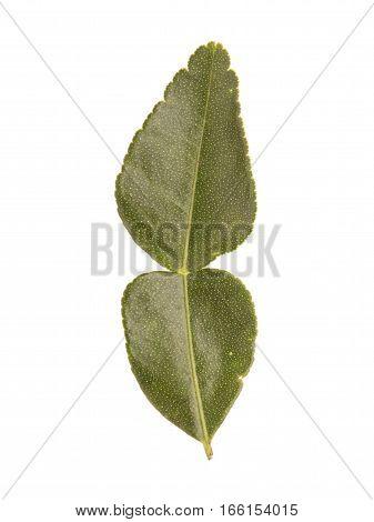 Fresh Kaffir Lime Leaves