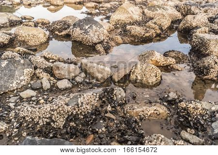 Mussels and anemones on the shore of the Sea of Okhotsk