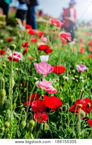 blooming flower in the garden, meadow on mountian