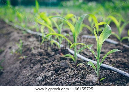Close up seedling corn growth in field plant agriculture farm.