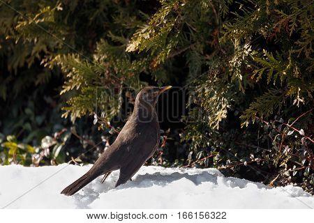 Female Of Common Blackbird Bird