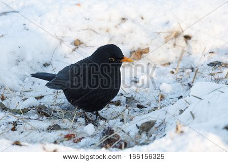 Male Of Common Blackbird Bird On Snowy Ground