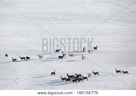 Herd Of European Roe Deer