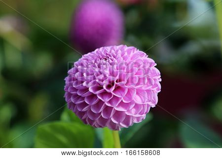 Pink Dahlia in full bloom over green background
