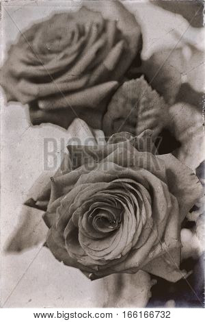 Roses in bucket. Soft focus. Retro aged photo with scratches.
