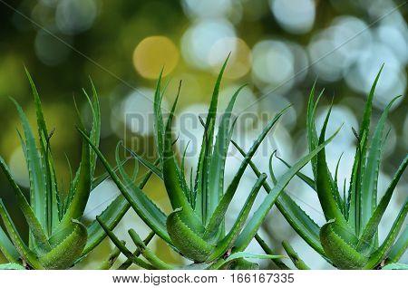 Group of Aloe Vera isolate on nature background