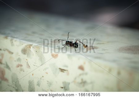 Macro Close up small ant bit back leg of black ant on white background
