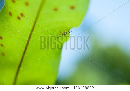 Close up and macro small cabbage white butterfly eggs on green leaf