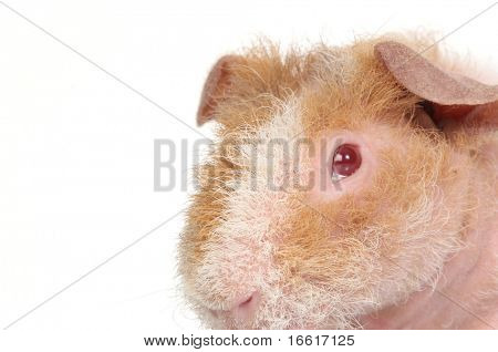 guineapig on white background