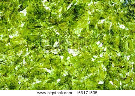 Fried seaweed emerald green background, closeup shot.