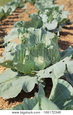 head cabbage in the garden for cooking