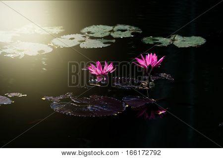 Blooming Lotus flower or waterlily among green leaves in deep dark water pond