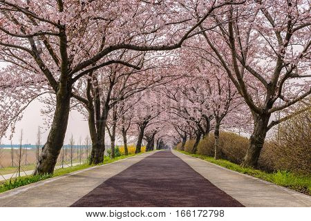 Spring pink cherry blossom tree and walk path in Busan South Korea