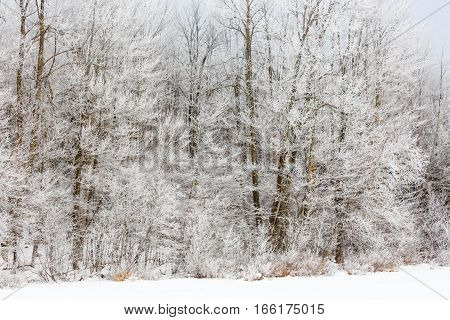 Wisconsin woods covered in Hoar Frost in January.