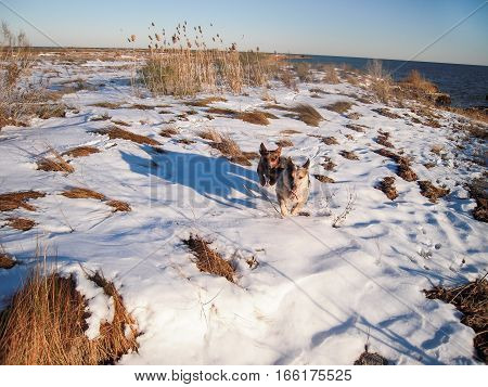 Two dogs running happily in the snow towards the camera on snowy beach