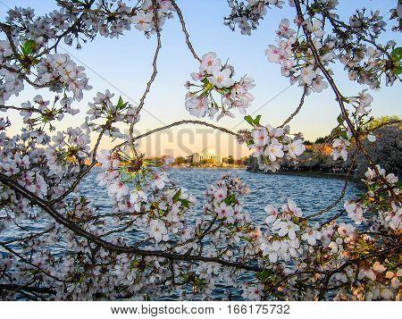 Cherry blossom sakura flowers framing the Jefferson Memorial in Washington DC
