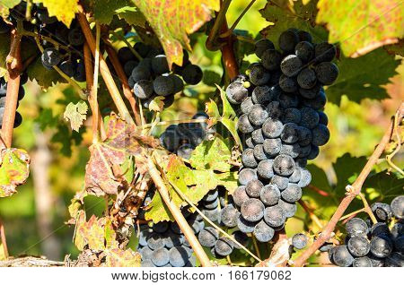 Closeup of dark red wine grapes in sunlight at vineyard