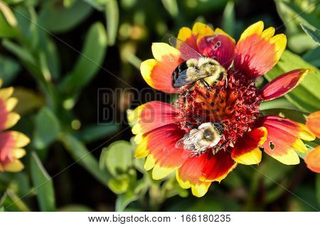 Two bumblebees on multicolored Indian Goblin Blanket Flowers