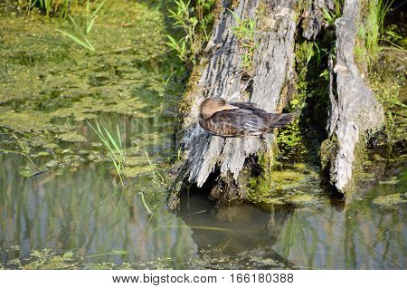 Duck sleeping in pond on tree with head backwards