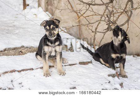 Two black stray puppies playing with small branches of a tree at winter street