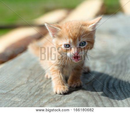 Adorable little kitten. Little cute golden brown kitten with blue eyes outdoors