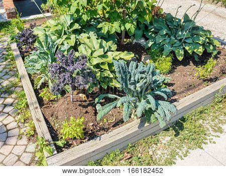 Landscaped vegetable garden with kale growing in a city during summer