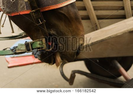 the horse head looks tired after carrying passenger at Kota Tua Area photo taken in Jakarta Indonesia java