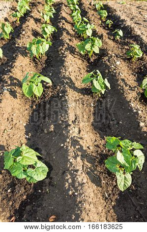 Young string bean plants in rows on a sunny vegetable garden patch
