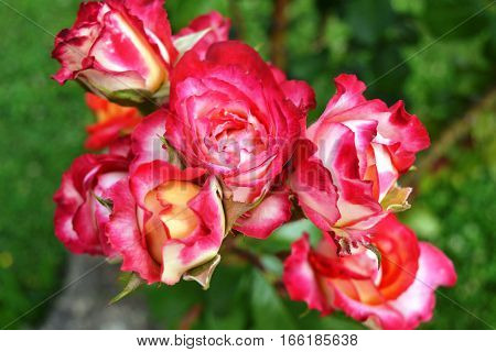 rose red and white on the green background