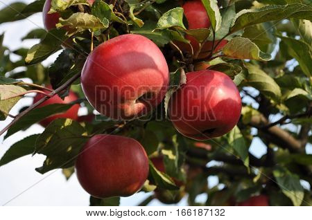 big red apples hanging on a branch apple tree. Natural food without chemicals.
