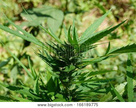Close up of a newly formed crystallized marijuana bud raised outdoors. Kissed with sunlight, field in the background.