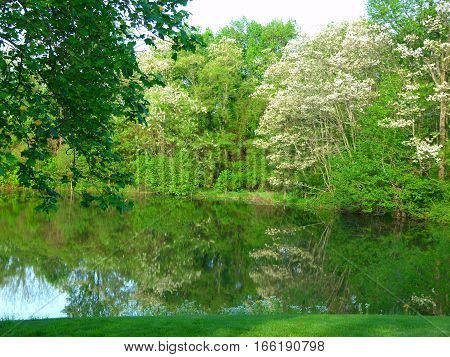 Reflection of Locust Trees' white blooms on our lake in the spring time.  The smell is heavenly.