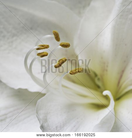 extreme magnification of white stargazer with yellow stamen