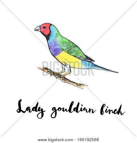 Hand Drawn Set Of Watercolor Isolated Bird Lady Gouldian Finch On White Background With Handwritten