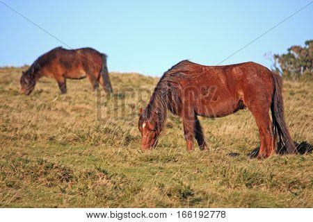 Wild ponies grazing on Dartmoor in Devon