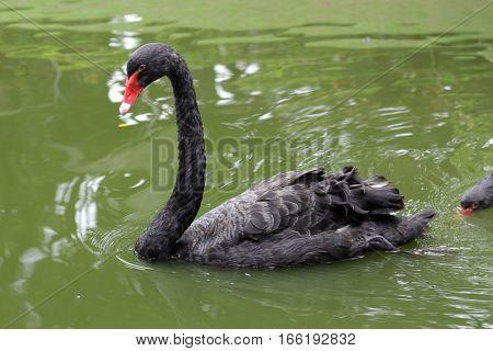 black swan (Cygnus atratus) in taman mini indonesia indah a series of images