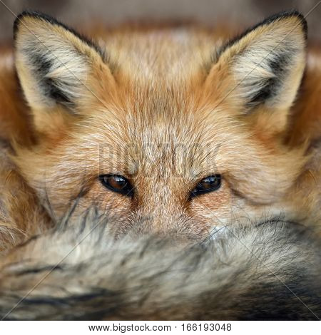 Close up red fox (Vulpes vulpes) portrait