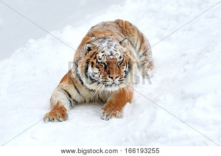 Close beautiful wild siberian tiger on snow
