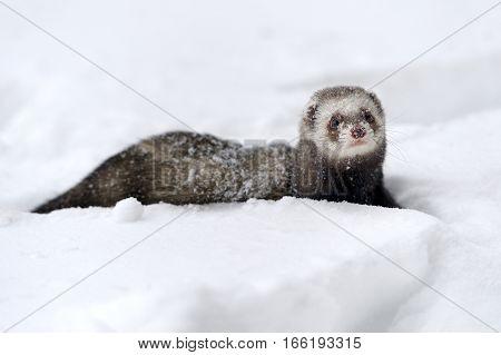 Close beautiful wild ferret game in snow