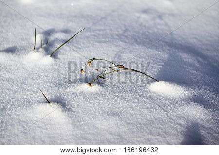 Textured surface of the snow-covered field. Winter background wilted plant and ice crust.