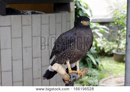 crested serpent eagle (Spilornis cheela) in taman mini indonesia indah a series of images