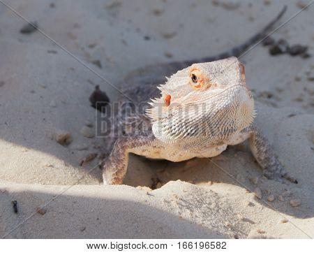 muzzle iguana lizard close up. Lizard on the sand