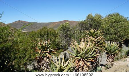 Landscape in the semi desert Little Karoo in the Republic of South Africa, mountains, barren vegetation and blue sky,