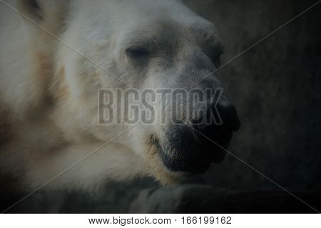 A close up of a polar bear
