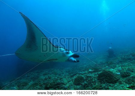 Manta Ray (Manta Birostris) Swimming over the Reef with a Photographer in the Background. Nusa Penida Bali Indonesia