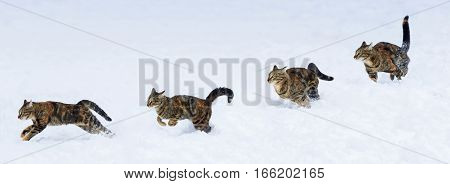 phase run and jump kitten on white snow