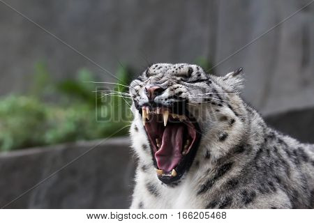 Snow leopard yawning or growling, showing full fangs.