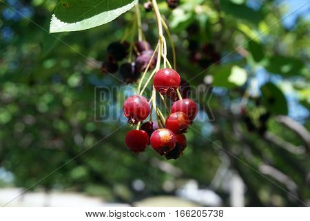 Ripe berries dangle from a serviceberry bush (also called Amelanchier, shadbush, shadwood, shadblow, sarvisberry, sarvis, juneberry, saskatoon, sugarplum, wild plum, wild pear, and chuckley pear) in Joliet, Illinois during June.